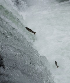 さくらの滝のサクラ鱒