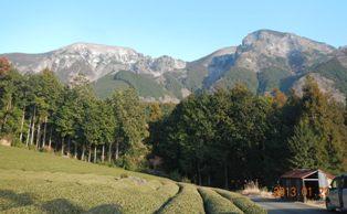 左から第二真富士と第一真富士 茶畑